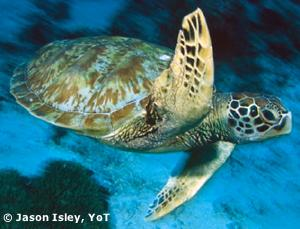 Authentic Learning With Skype – Sea Turtles